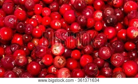 Cranberry Berries Are Fresh.cranberry Background Of Berries.wild Cranberry.