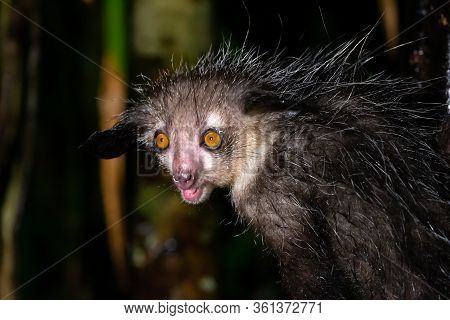 One Of The Rare Aye-aye Lemur That Is Only Nocturnal