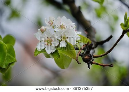 Flowers And Leaves Of Apple Tree With Raindrops. Flowering Apple Trees. Beautiful Flowering Tree In