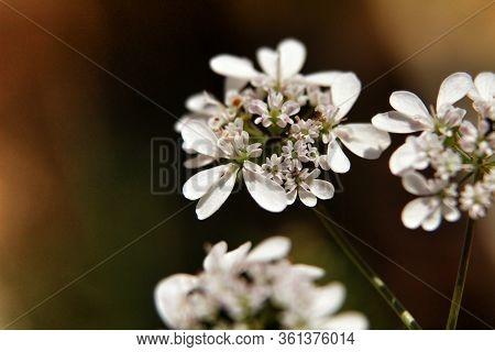 Beautiful Coriandrum Sativum Flowers In The Garden In Spring