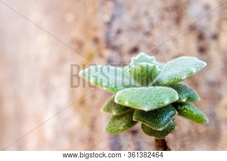 Hazy Green And Scallop Like And Thick Fur On The Leaves Surface Of Kalanchoe Milliotii Succulent Pla