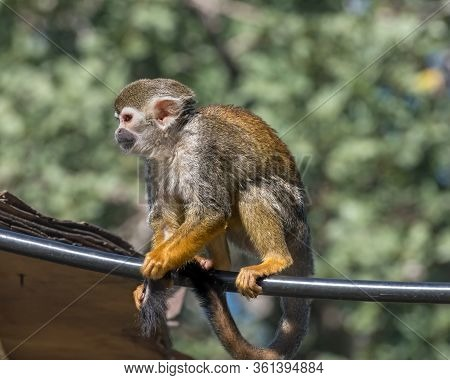 Central American Squirrel Monkey, Red-backed Squirrel Monkey. Exotic Monkeys In The Monkey Forest In