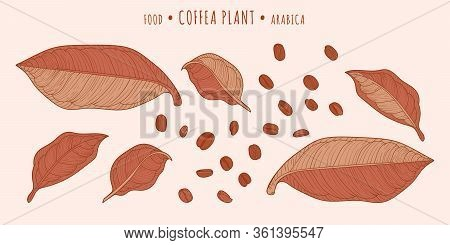 Coffea Plant. Coffee Beans And Leaves In The Hand-drawn Technique