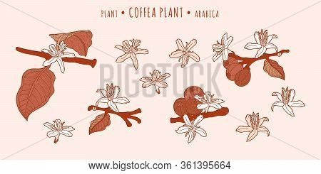 Coffea Arabica Plant. Coffee Fruits And Flowers On A Branches In The Hand-drawn Technique