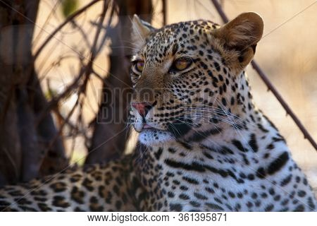 The Leopard (panthera Pardus), Portrait With Sticking Out Tip Of Tongue At Sunset. Leopard In Yellow
