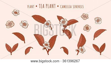 Tea Plant. Camellia Leaves And Flowers On A Branches In The Hand-drawn Technique