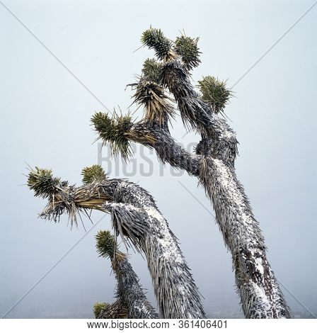 Snow Covered Plants In The Desert Landscape Of Joshua Tree National Park, U.s.a.