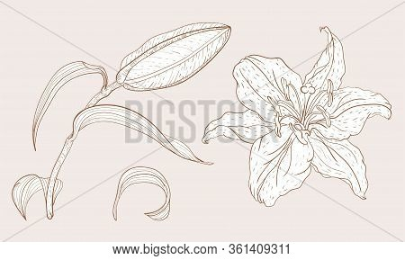 Asian Oriental Lily Bud And Flower In Vintage Sketching Style