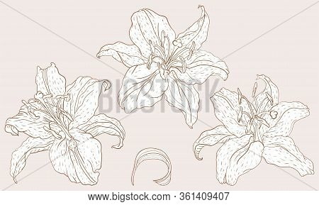 Oriental Lily Three Flowers In The Vintage Line Art Style