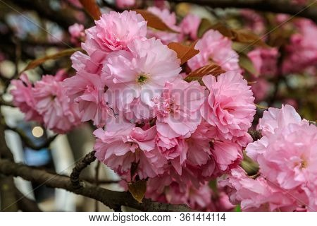 Branches Of Beautiful Blooming Pink Sakura (oriental Japanese Cherry) In Springtime. Western Ukraine
