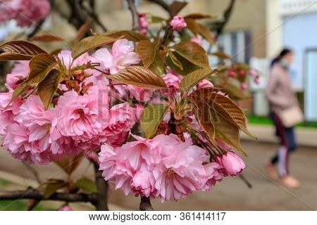 Uzhgorod, Ukraine - April 14, 2020: Branches Of Beautiful Blooming Pink Sakura (flowering Cherry) In