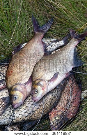 Successful Fishing -  Big Freshwater Bream Fish On Keepnet With Fishery Catch In It..