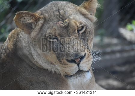 Beautiful Lioness Looking Intently At The Denver Zoo