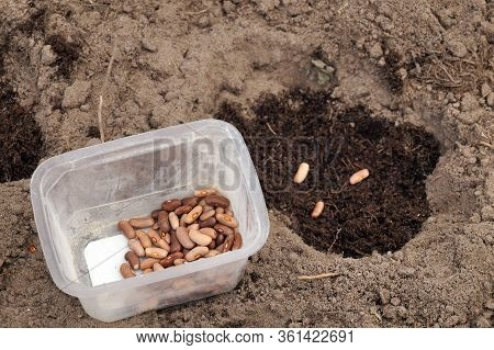 Sowing Bean Seeds In A Home Garden. Container With Seeds For Sowing.