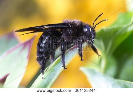 Violet Carpenter Bee, Xylocopa Violacea On The Plant