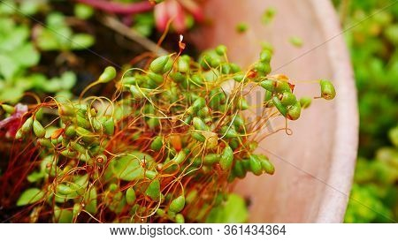 Extreme Macro Closeup Of Red Green Moss Seed Pods. Background Concept