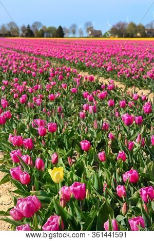 Fields full of pink tulips with one exception in yellow in Dutch Flevopolder