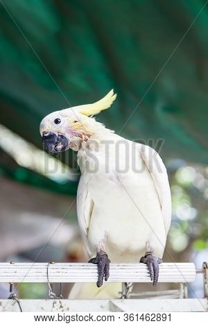 Yellow-crested Or Sulphur Cockatoo On Sale At The Yuen Po Street Bird Garden In Kowloon, Hong Kong.