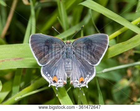 Dorsal view of Gray Hairstreak butterfly with its wings open, resting on a blade of grass