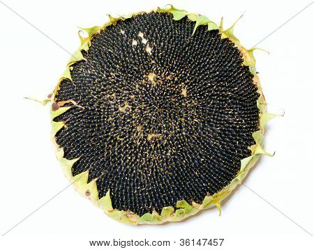 Single Ripe Sunflower