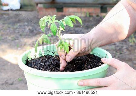 Farmer's Hand Planting Tomato Seedlings. Seedling Tomatoes In The Hand. Hand Holding Young Seedlings