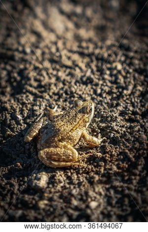 Camouflaged Toad Frog On Muddy Dirty Ground