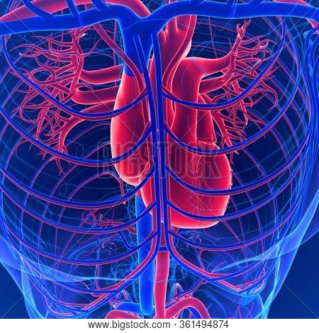 Circulatory System Is Composed Of The Heart, Arteries, Capillaries, And Veins. This Remarkable Syste