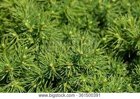 Dwarf White Spruce Alberta Globe - Latin Name - Picea Glauca Subsp. Albertiana Alberta Globe