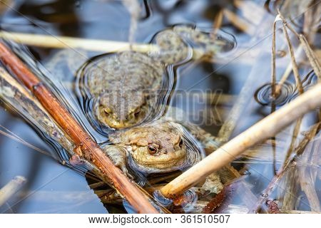 Common Toad Or European-toad, Bufo Bufo In Natural Environment, Floating On Spring Pond, Showing His