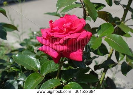 Cerise Red Flower Of Rose In The Garden In May