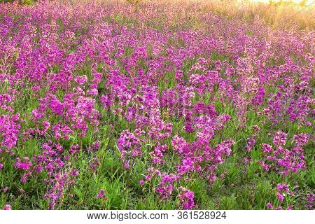 Beautiful Amazing Spring Landscape With  Flowering Purple Flowers On Meadow And Sunrise. Wildflowers