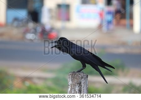 Closeup Of A Female Common Raven ( Black Brow) Perching On Rock Pole,side View Of A House Crow Bird
