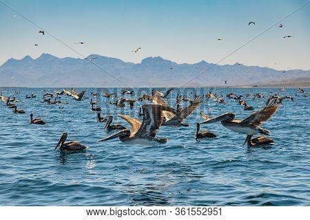 Flock Of Brown Pelicans On Feeding.  Baja California, Gulf Of California, Mexico
