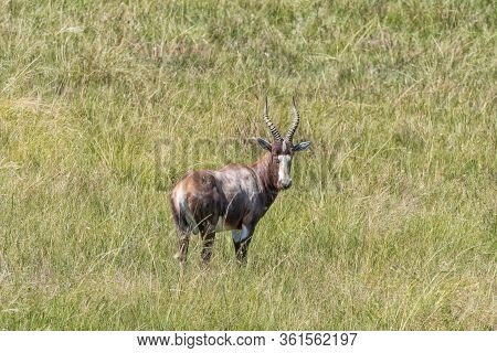 A Blesbok, Damaliscus Pygargus Phillipsi, In A Grass Field, Looking At The Camera, At Golden Gate