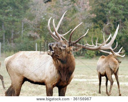 bull elf deer bugling in herd