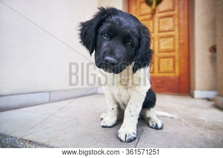 Curious Dog Looking At Camera. Puppy Of Czech Mountain Dog Sitting Against Door Of House.