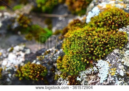 Tortula Muralis, Polytrichum And Caloplaca Thallincola Mosses On The Rock.