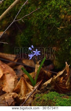 Blue Scilla  Flower On A Dark Background. Brown Leaves And Moss On Backdrop. Vertical.