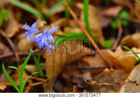 Gentian-blue Scilla Flower With A Forest Ground Backdrop. Copy-space On The Right.
