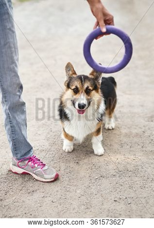 Cute Welsh Corgi Dog Outside With His Owner, Playing With Toy Puller.