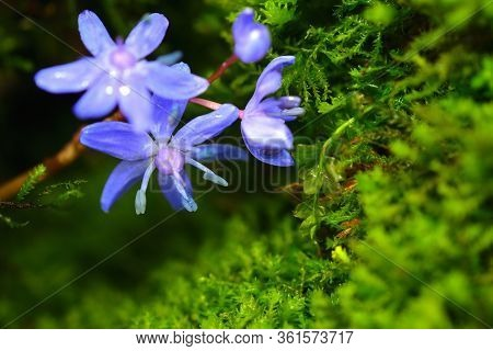 Wild Scilla Flower With Vibrant Moss Micro Greens On A Background. Gentian-blue On A Green Color.