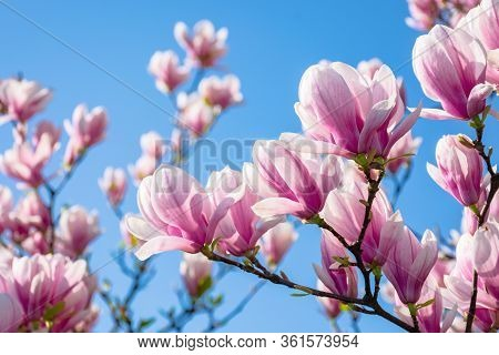 Magnolia On The Blue Sky Background In The Morning. Beautiful Springtime Scenery In The Garden