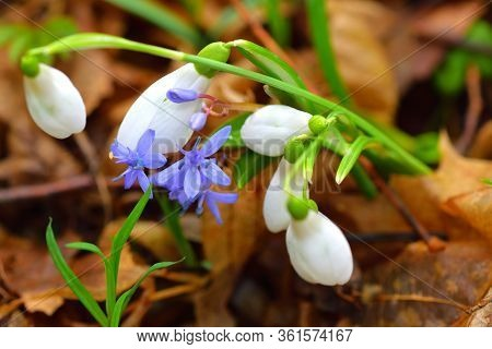 Snowdrop And Squill Or Scilla Flowers On The Brown Leaves Background.