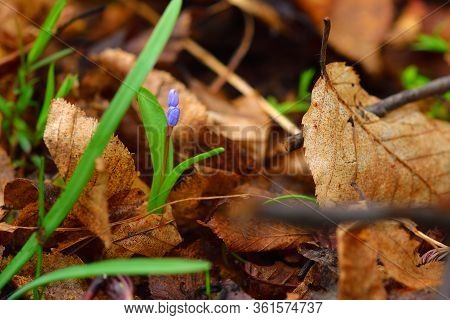 Beautiful Scilla Flower On A Brown Leaves Background. Violet To Gentian-blue Gradient.