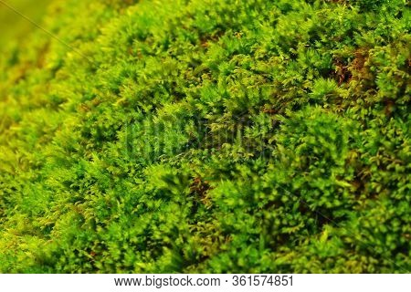 Forest Moss Texture Close-up. Bright Green Color. Saturated.