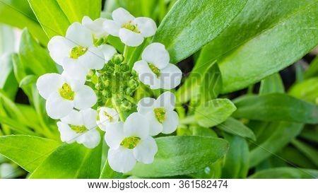 Macro White Flower Alyssum (lobularia Maritima). Soft Focus And Blurry Light Background, Copy Space.