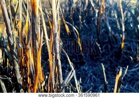 Young Shoots Of Grass Sprout On Burning After A Fire Of Grass Fire. Consequences Of A Catastrophe. S