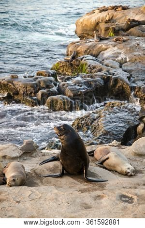 Coastal Beach Wildlife Landscape Of Southern California. Sea Lions Lying On Cliffs And Looking Out A