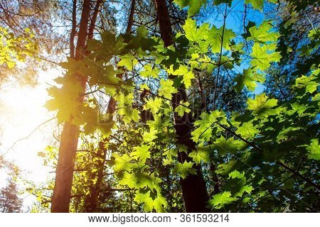 Green Maple Leafe In Sunny Day On Blue Sky Fone. Gold Autumn.