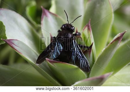 Top View Of Violet Carpenter Bee, Xylocopa Violacea On The Green Plant